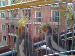 My Cockatiel Parrots